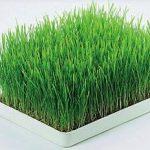 Pšenična trava je zdrava